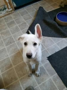 White Female Snowcloud German Shepherd Puppy for Sale 10 weeks old