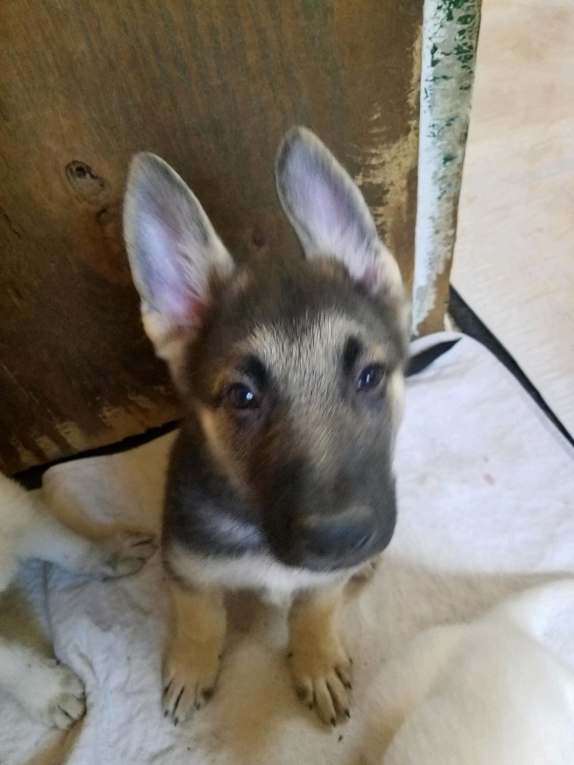 Weve Reduced The Price On Our Four Remaining German Shepherd