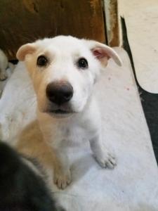 Burgin Snowcloud German Shepherd Puppy for Sale white female 9 weeks old price reduced.