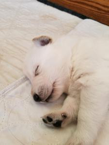Snowcloud German Shepherd Puppy for sale Tinks litter White male #2 two weeks old