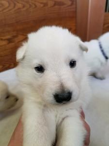 White male Snowcloud German Shepherd Puppy 3 weeks old. Black Collar