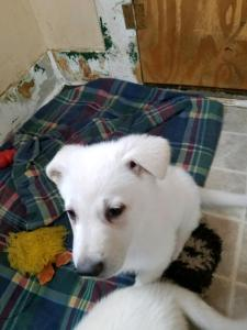 White Male Snowcloud German Shepherd puppy- light blue collar- 7 weeks old for Sale