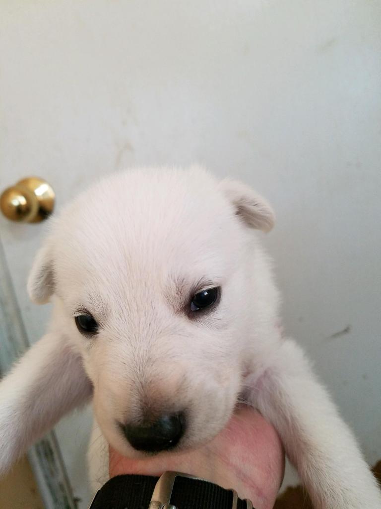 White Female #5 Snowcloud German Shepherd Puppy for Sale