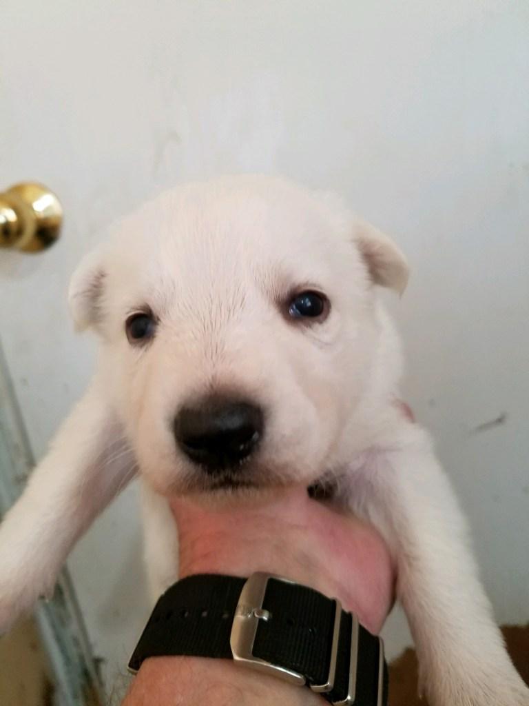 White Female #2 Snowcloud German Shepherd Puppy for Sale