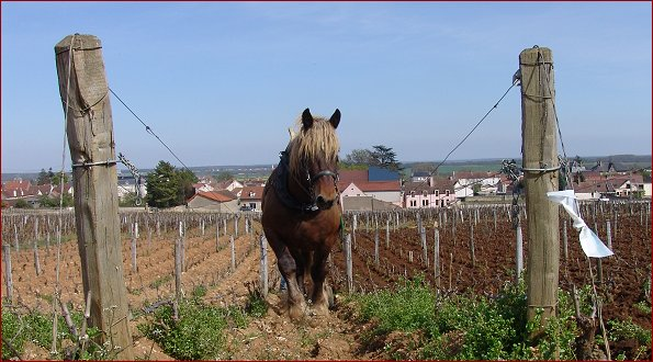 working the vineyard of la tache
