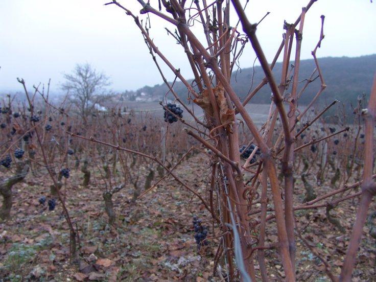 Frozen grapes 2