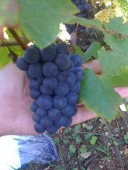Small clusters, big grapes. Sionnières