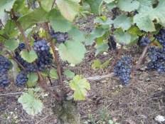 Day 6 - Vosne 1er Petit Monts fruit