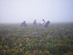 Day-11-Early-morning-and-freezing-start-on-Hautes-Cotes-above-Vosne.-Vendangeurs-in-the-mist