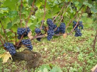 Morey Clos Solon grapes