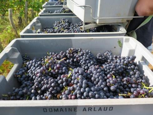 Final Day Hautes-Cotes Pinot fruit