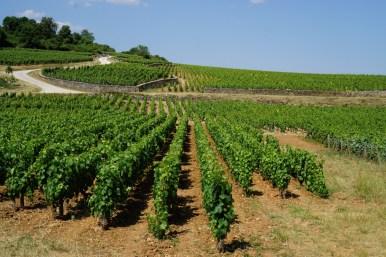 View over Blanchot Dessous towards Montrachet