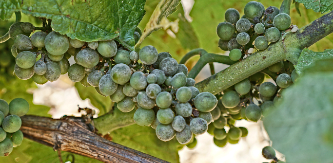 Oïdium - normally more a pinot problem, but here on chardonnay...
