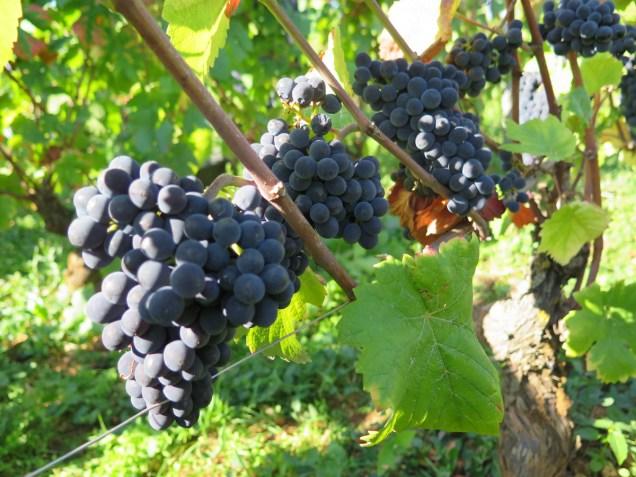 Clos de la Roche fruit