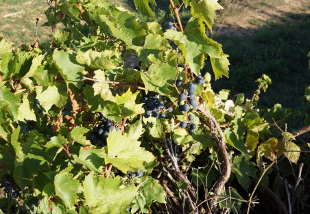 The wild grapes are still waiting to be harvested!