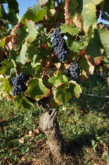 Rare grapes left on the vine - also Beaune Grèves