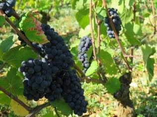 Morey Blanchards grapes