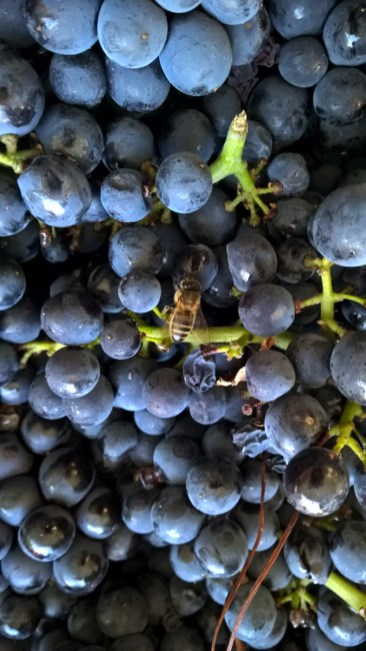 The bee prefers Gevrey...