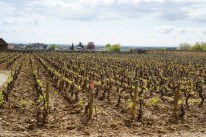 Gevrey villages clos - walls protected from frost...