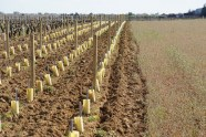 Half replanted Vosne villages - behind the camera is the wall of the Clos de Vougeot