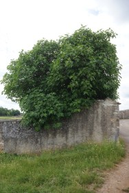 The biggest fig tree in Burgundy?