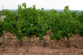 Jadots trained and ploughed vines near the Moulin, in Moulin!