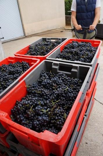 Grapes at Domaine Labruyère