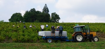 Sorting in vineyard - Chénas