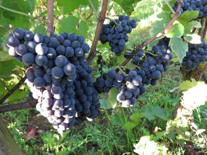 Gorgeous-Chambolle-Village-grapes