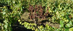 Death of an old vine - esca...
