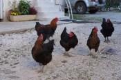 Gevrey poulet...