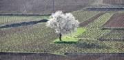 the (ex) tree of aux reignots…