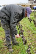 Pruning in Petits Musigny