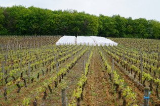 A block of Pernand Corton-Charlemagne under tent!