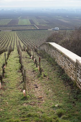 Down the rows of Montrachet towards Batard...
