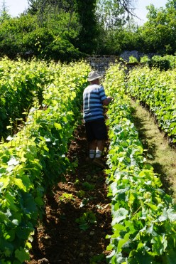 Hand-trimming the vines...