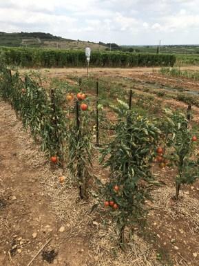 1er cru tomatoes - Les Rebichets...