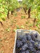 Images from picking in Beaune...
