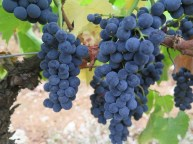 Arlaud-Exchezeaux-super-grapes