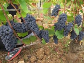 Arlaud-Grapes-Chambolle-1er-Chatelots