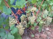 Arlaud-Morey-Flatlands-Chardonnay-grapes