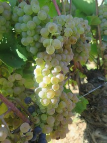 Beautiful Vosne Village grapes but should be Pinot Noir 11092018