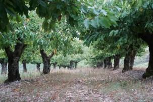 Irancy cherry grove...