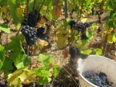 Gevrey La Justice Vine & Grapes