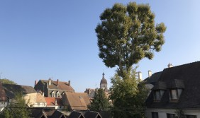The biggest tree in Beaune...