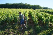 Hand-shears at the ready - Louis Latour's Corton-Charlemagne
