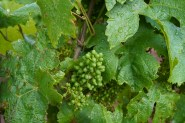 Some grapes already well on thw way