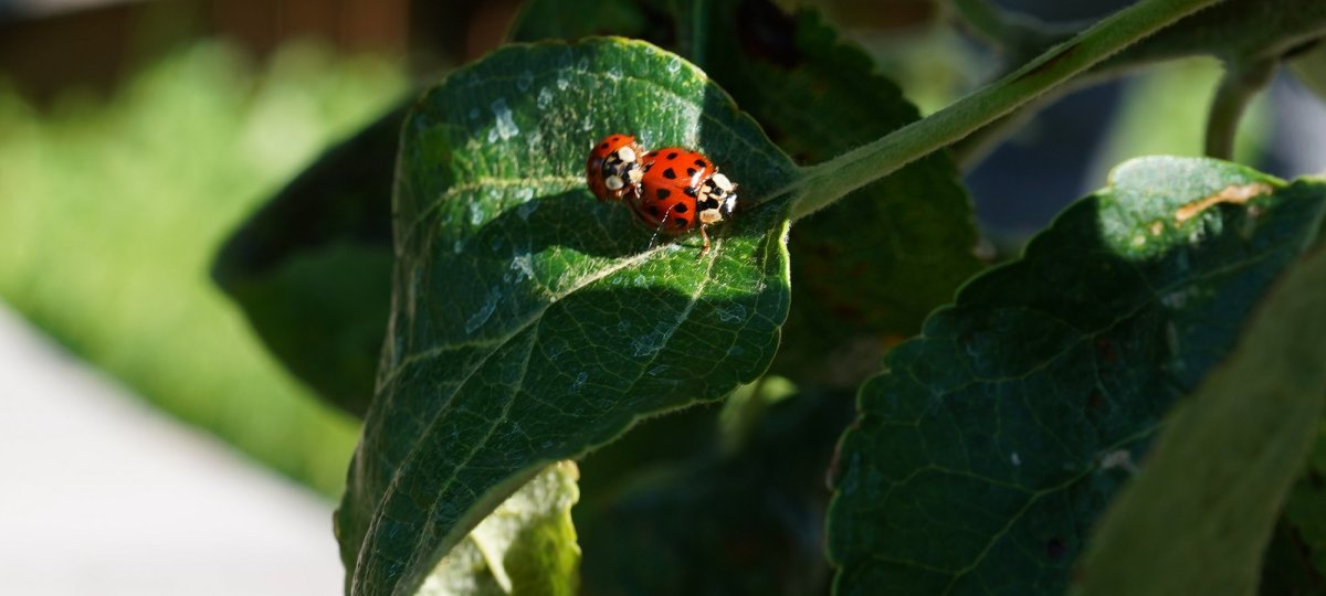 ladybirds in nuits st.georges