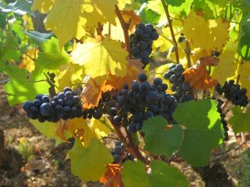 Chambolle Village grapes illuminated by sunlight