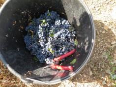 NSG 1er Aux Boudots fruit (note soil below)